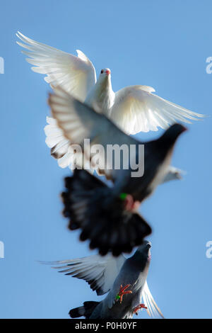 white feather pigeon in flying flock against clear blue sky - Stock Photo
