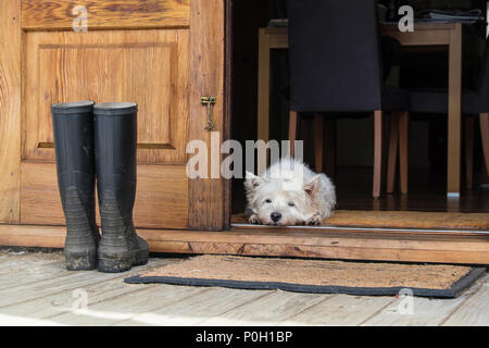 Senior west highland white terrier westie dog lying on mat looking out of open farmhouse door - photographed in New Zealand, NZ - Stock Photo