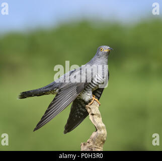 Cuckoo - Cuculus canorus - Stock Photo