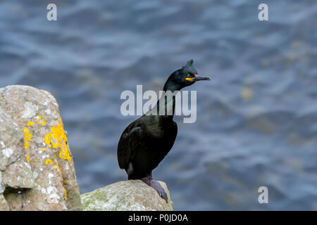 European shag / common shag (Phalacrocorax aristotelis) perched on rock in sea cliff in spring, Shetland Islands, Scotland, UK - Stock Photo