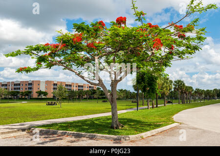 Vibrant red flowers; Royal poinciana; Delonix regia; flame tree; south central Florida; USA - Stock Photo