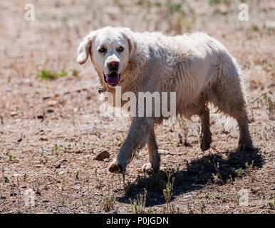 Wet platinum colored Golden Retriever dog running on a central Colorado Ranch; USA - Stock Photo