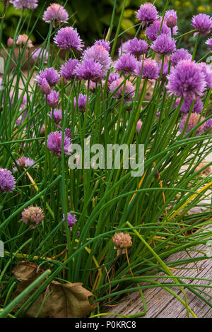 chives plant with flowers, comun name chives, scientific name Allium Schoenoprasum - Stock Photo