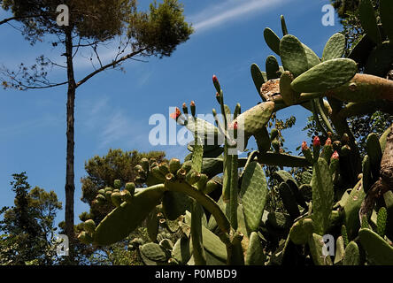 Prickly pear cactus close up with fruit in red color, cactus spines. - Stock Photo