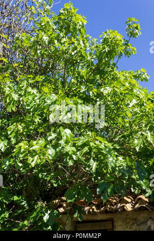 Common fig tree  Ficus carica, coming into fruit, June 2018,  Almeria Andalucia Spain - Stock Photo
