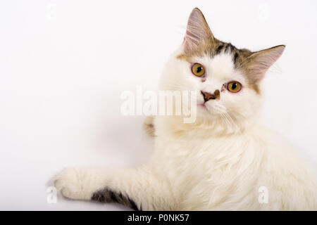 Cute Fluffy Persian Cat Against White Background - Stock Photo