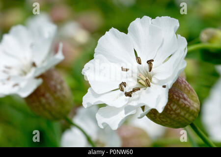 Sea Campion (silene vulgaris subsp. maritima), close up on a single flower with others in the background. - Stock Photo