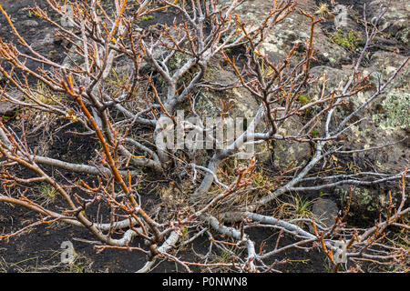 Detail of a bare tree in the Etna valley - Stock Photo