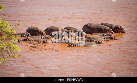 Group of hippo (Hippopotamus amphibius) bathing in red Galana river, one of them yawning. Tsavo east national park, Kenya - Stock Photo