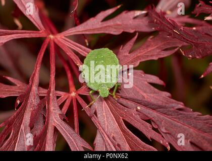 green shieldbug on red Japanese Maple 'Garnet', England, UK - Stock Photo