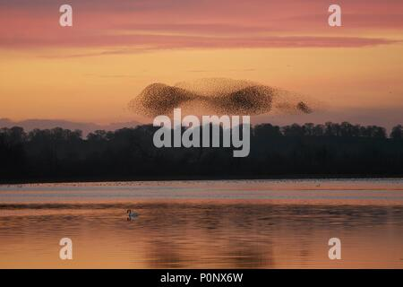 starling murmuration & mute swan, Aqualate Mere, Staffordshire, England, UK - Stock Photo