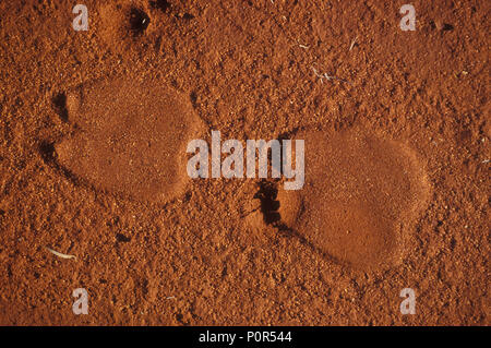 CAMEL TRACKS (CAMELUS DROMEDARIUS) IN THE GREAT VICTORIA DESERT, WESTERN AUSTRALIA. - Stock Photo