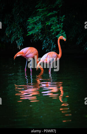 Two Caribbean Flamingos with reflection in the water - Stock Photo
