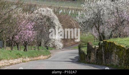 almonds in flower, Gimmeldingen, Palatinate, Germany - Stock Photo