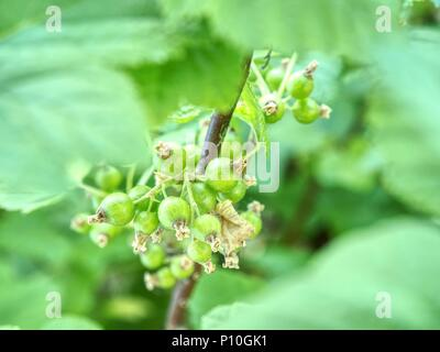 Sour green unrippable berries of red currant. Bush of red currant with green leaves in the garden - Stock Photo