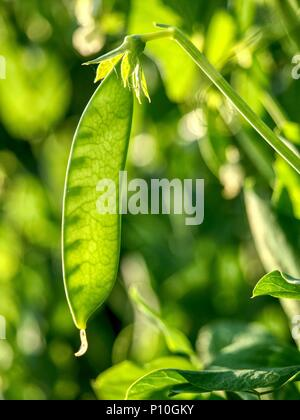 Selective focus on fresh bright green pea pods on a pea plants in a garden. Young fresh bright green pea pods on plants - Stock Photo