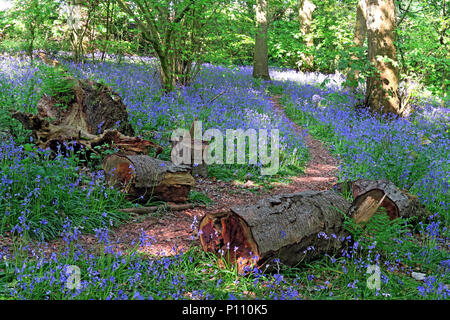 English Bluebell Wood in spring, Cheshire, England, UK - Stock Photo