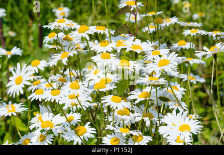 Oxeye daisies (Leucanthemum vulgare) growing in a park in Summer (June) in the UK. - Stock Photo