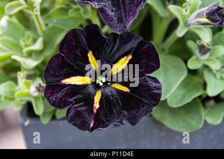 Black Petunia 2 - Stock Photo