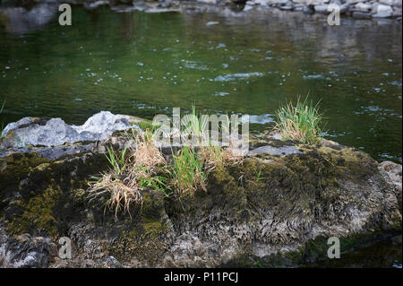 Female Mallard (anas platyrhynchos) with  brood resting on a large rock in the River Leaven, Lake District National Park, Cumbria, England, UK, GB - Stock Photo