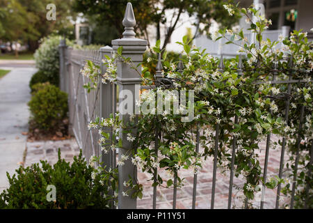 White honeysuckle (Lonicera albiflora) vines growing on a gate in the Garden District in New Orleans, Louisiana, USA. - Stock Photo