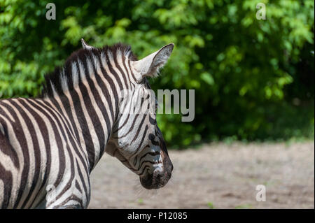 Portrait of a zebra close-up . (Equus quagga) - Stock Photo