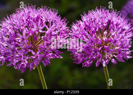 Allium hollandicum 'Purple Sensation, a member of the Onion family - Stock Photo
