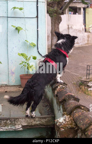 Small black dog on the terrace of the building at Izmir in Turkey. Curios and cute. - Stock Photo