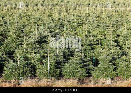 Nordmann fir plantation in Denmark - Stock Photo