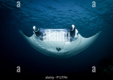 A Manta ray, Manta alfredi or Reef manta swimming over the reef in Komodo national park, Indonesia. - Stock Photo