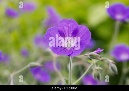 Geranium 'Orion' flowers. - Stock Photo