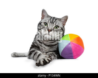 Handsome black tabby British Shorthair cat with green eyes laying down with colorful toy ball from sorft material looking at lens isolated on white - Stock Photo
