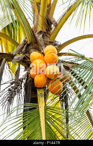Cluster of yellow king coconuts (Cocos nucifera) native to Sri Lanka growing on a tree, Horagampita district, near Galle, an important local food crop - Stock Photo