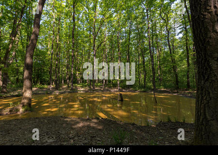 Green oak forest in spring time - Stock Photo