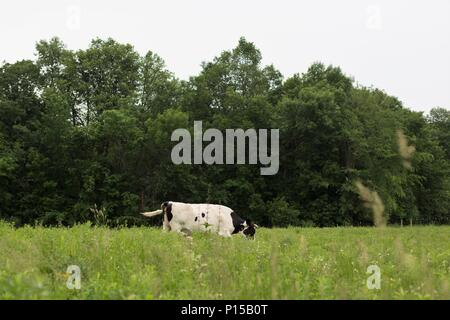 A white and black Holstein cow alone in a green pasture. - Stock Photo