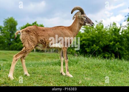 Young European mouflon sheep (Ovis ammon musimon) - Stock Photo