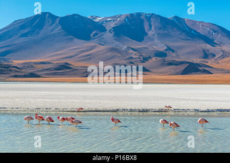 Landscape photograph with a few hundred James and Chilean flamingos in the Canapa Lagoon in the Andes mountain range near the Uyuni salt flat, Bolivia - Stock Photo