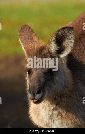 Grey Kangaroo (Macropus giganteus), Australia - Stock Photo