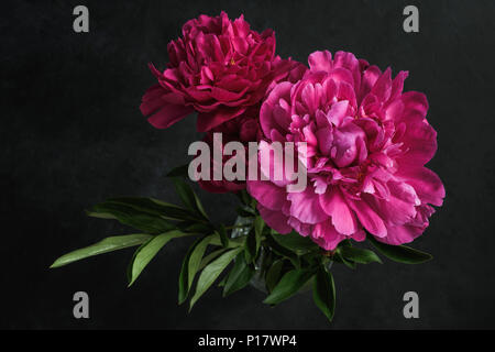 Beautiful pink peonies on dark background. Floral still life. Magenta peony flowers - Stock Photo