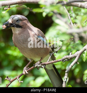A Jay Perching in a Cherry Tree Looking for Food in a Garden in Alsager Cheshire England United Kingdom UK - Stock Photo
