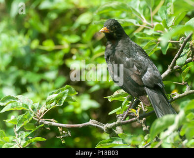 An Adult Male Blackbird Perching on a Branch in an Apple Tree Looking for Food in a Garden in Alsager Cheshire England United Kingdom UK - Stock Photo
