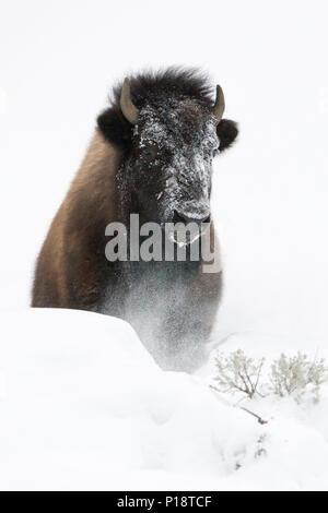 American Bison / Amerikanischer Bison ( Bison bison ) in winter, breaking through a little hill of deep fluffy snow, frontal shot, Yellowstone Nationa - Stock Photo