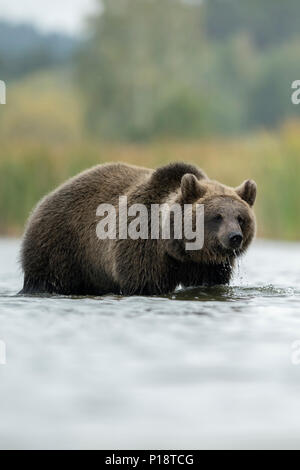 Brown Bear / Braunbaer ( Ursus arctos ), young adolescent, standing in shallow water, walking through the water, in front of a reed belt, Europe. - Stock Photo