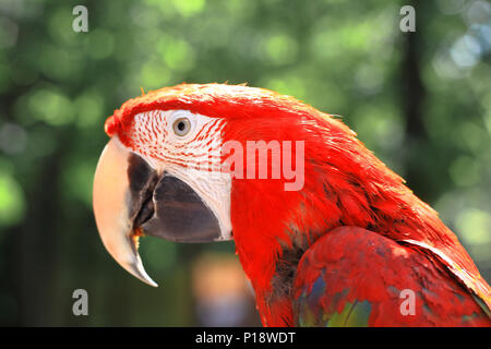 close up. head, macaw parrot on blurred background - Stock Photo