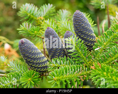 Blue early summer cones nestle among the bright green needles of the decorative conifer, Abies koreana - Stock Photo