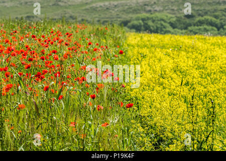 Colourful wildflowers growing in a field at Arable Fields Project on West Pentire in Newquay in Cornwall. - Stock Photo
