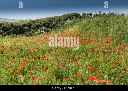 Wildflowers growing in a field at the Arable Fields Project on West Pentire in Newquay in Cornwall. - Stock Photo