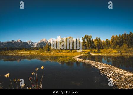 A beaver dam at Schwabachers Landing in Grand Teton National Park. - Stock Photo