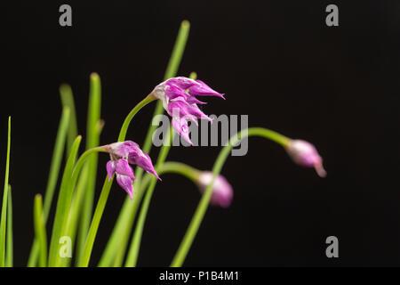 Allium cyathophorum var. farreri, flowering June 3, 2018 - Stock Photo