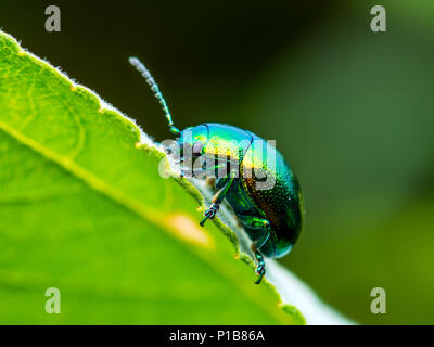 Chrysolina Coerulans Blue Mint Leaf Beetle Insect Crawling on Green Leaf Macro - Stock Photo